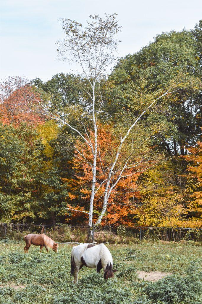 Miniature horses grazing