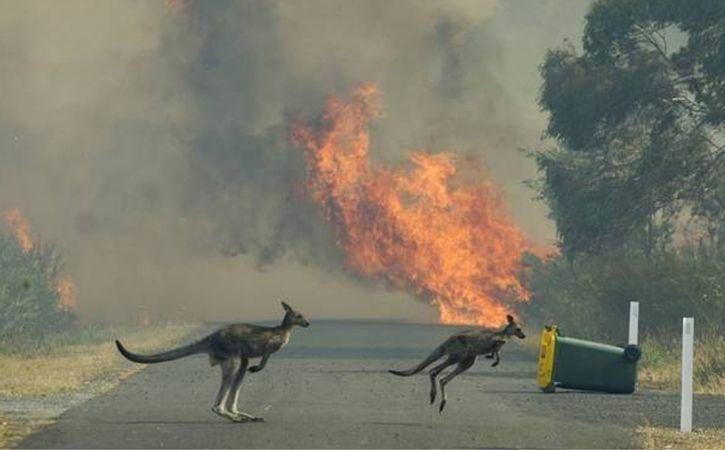 kangaroo in fire