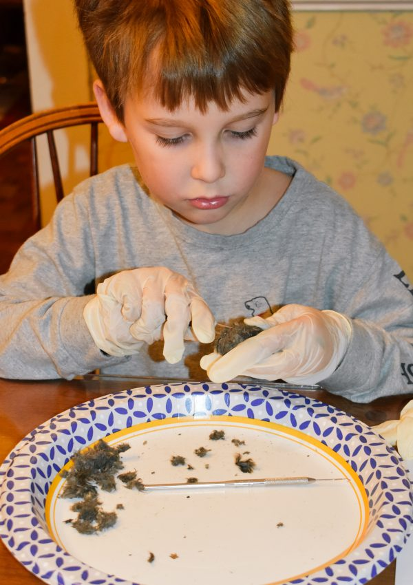 Owl Pellets Dissection Lesson