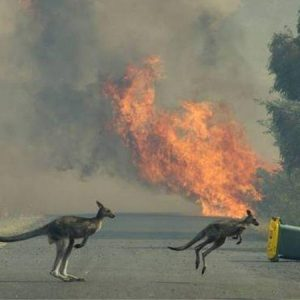 Kangaroos in front of fire